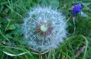 20th Apr 2015 - Tick tock dandelion clock