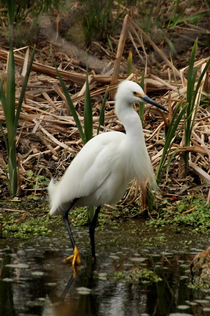 White Heron Fishing by fntngrma