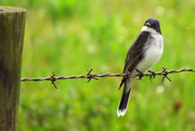 20th Apr 2015 - The Kingbirds Have Returned