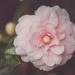 Pink Pinwheel