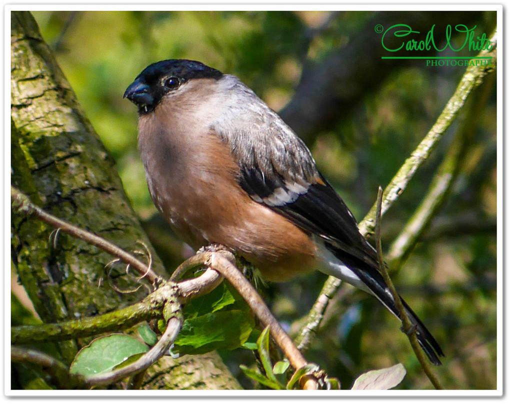 Bullfinch (female) by carolmw