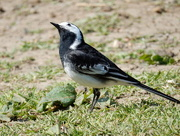 18th Apr 2015 - pied wagtail