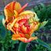 Streaked Orange Tulip