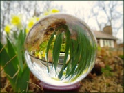 20th Apr 2015 - Daffodils in My Crystal Ball