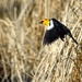 yellow-headed blackbird by mjalkotzy