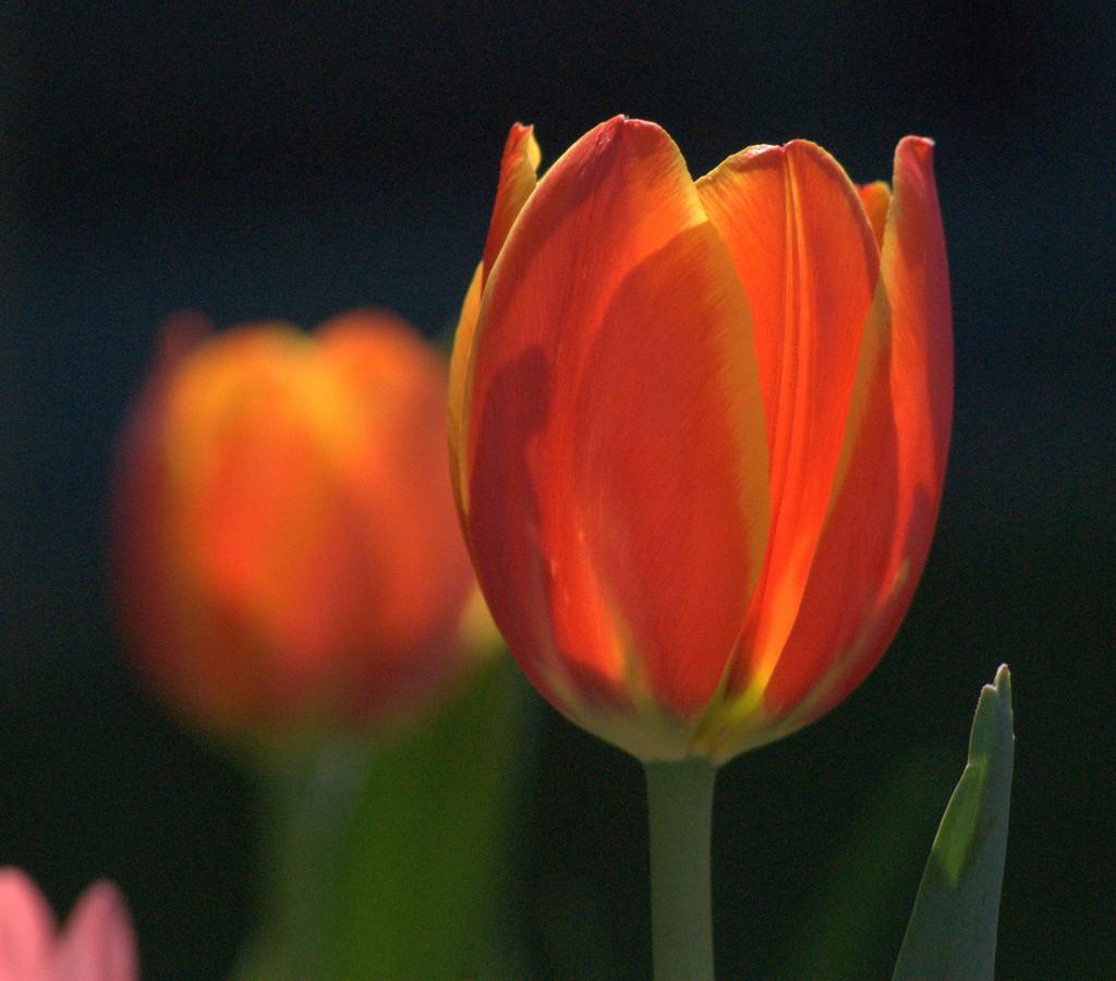 Tulip Time by genealogygenie