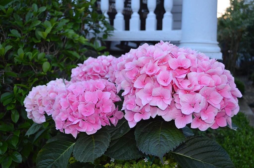 Hydrangea, historic district, Charleston, SC by congaree