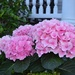 Hydrangea, historic district, Charleston, SC by congaree
