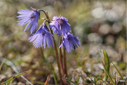 22nd Apr 2015 - 2015-04-22 Soldanella alpina