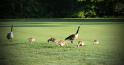 22nd Apr 2015 - My local Goose Family