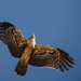 Jackal Buzzard in Flight