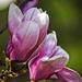 Magnolia Blooms