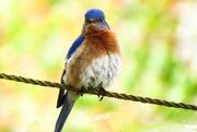 22nd Apr 2015 - Not Looking Like the Happy Bluebird