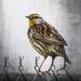 Grey Morning Meadowlark by milaniet