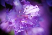 22nd Apr 2015 - Purple