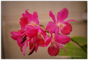 23rd Apr 2015 - Orchids..