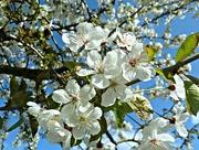 23rd Apr 2015 - Enjoy the Blossom