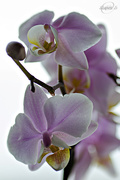 23rd Apr 2015 - Pink Orchid