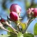 Emerging apple blossom
