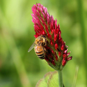 23rd Apr 2015 - Red clover, red clover