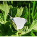 """Small White""Butterfly"