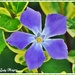 The Pretty Little Periwinkle. by ladymagpie
