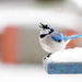 Winter Blue Jay! by fayefaye