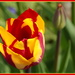 New tulip by busylady