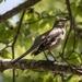 Mockingbird by darylo