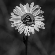 21st Apr 2015 - Daisy