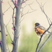 Robin Redbreast by lisabell