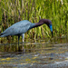 Little Blue Heron by shesnapped