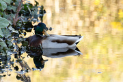 25th Apr 2015 - A Duck and its Reflection