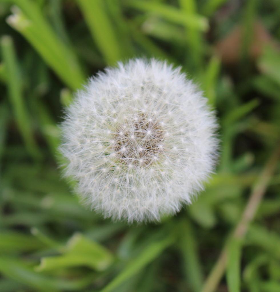 Dandelion by essiesue