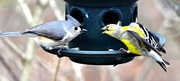 """25th Apr 2015 - """" I was here first, so bugger off Titmouse !"""""""
