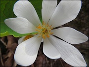 25th Apr 2015 - Bloodroot in Full Bloom