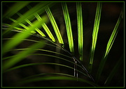 26th Apr 2015 - The frond