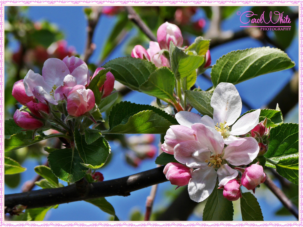 Apple Blossom Time by carolmw