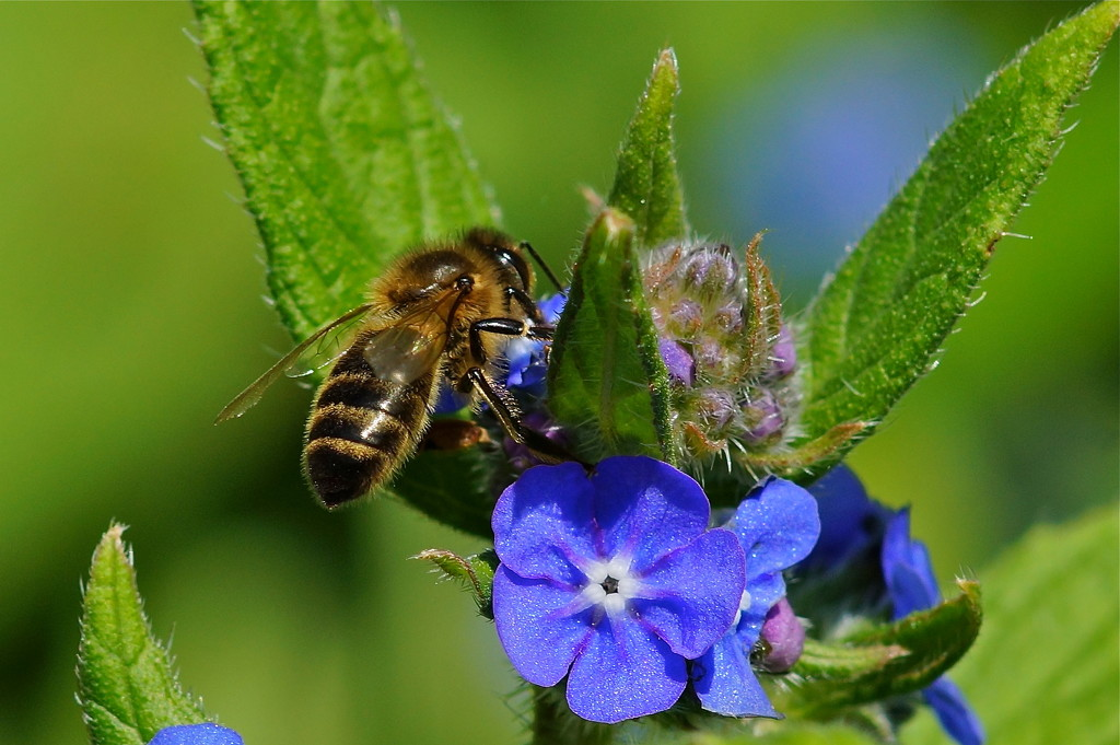 BEE AND BORAGE by markp