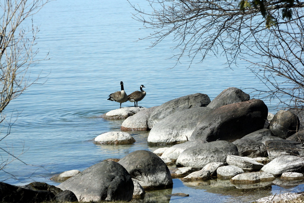 A pair of geese by bruni