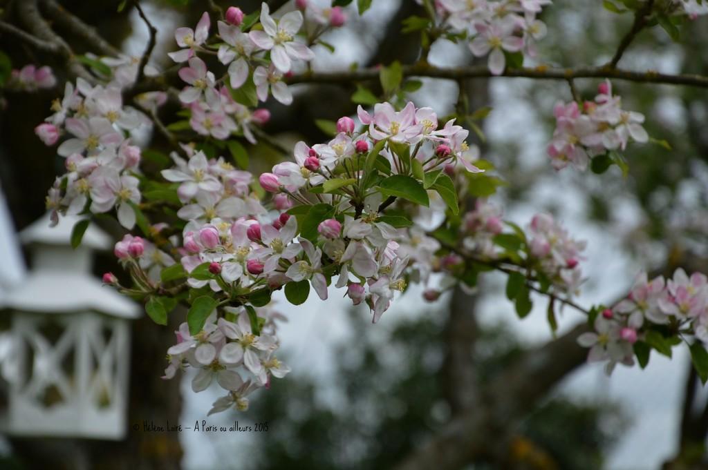 Apple trees in bloom by parisouailleurs