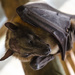 Fruit bat by salza