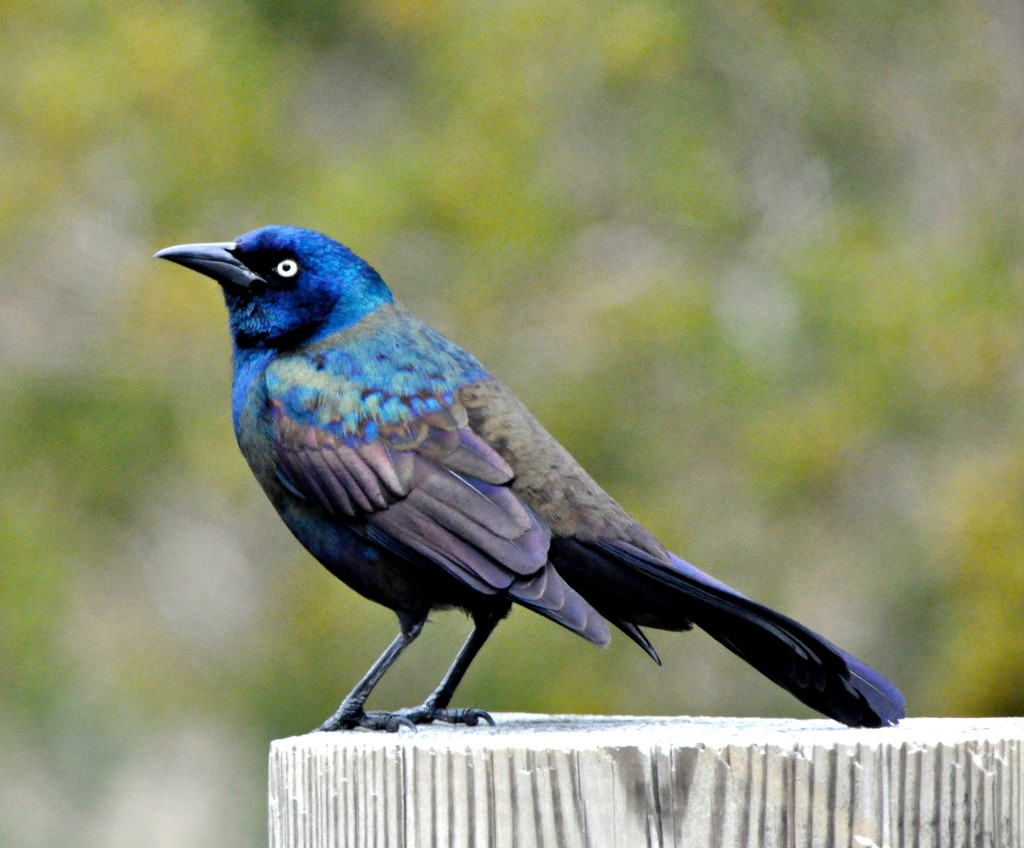 A Common Grackle by sailingmusic
