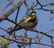 27th Apr 2015 - Yellow-rumped Warbler