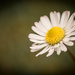 Daisy...... by susie1205