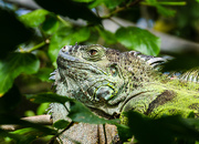 27th Apr 2015 - Iguana