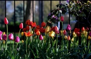 25th Apr 2015 - Tulips In the Park