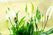 27th Apr 2015 - Peace lily