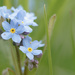 Myosotis by leonbuys83