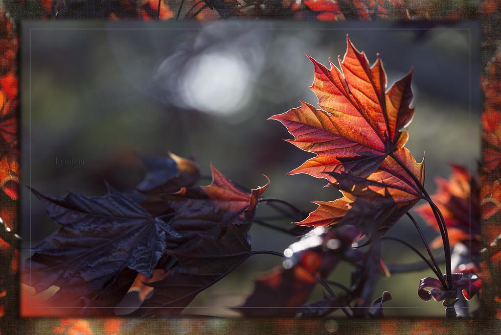 Maple Leaf Aglow by lyndemc